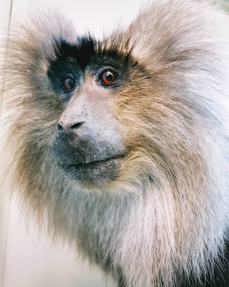 lion-tail macaque