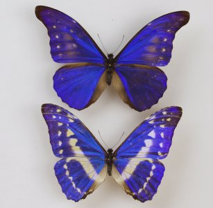 Lepidoptera collection